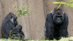 gorilas_624x351_reuters