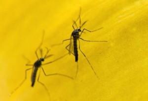 mosquito_transgenico