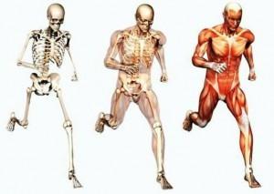 musculoesqueleto-300x213