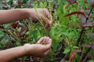 plantas-medicinales-brasil