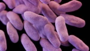 enterobacter